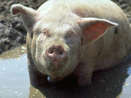 Originea Africană a interdicției de a mânca carne de porc