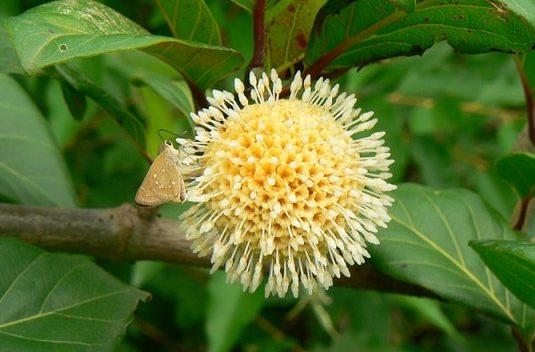 Nauclea latifolia