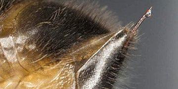 Ny venera Bee ho fitsaboana amin'ny homamiadana sy ny SIDA