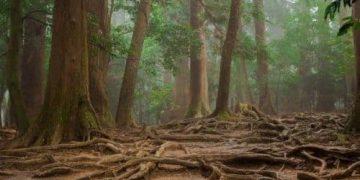 As árbores comparten comida entre elas por raíces